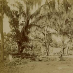 Live Oak Trees with Spanish Moss, St. Tammany Parish, Louisiana (c. 1890s, State Library of Louisiana, public domain).